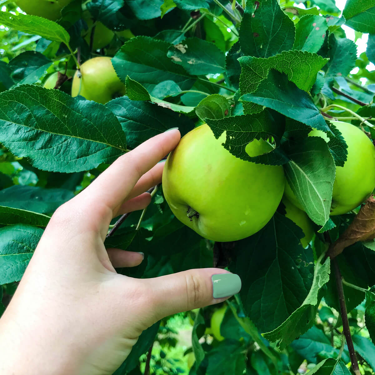 Delicious green apples ensure the intense fruity taster in EFFEN Apple Vodka.