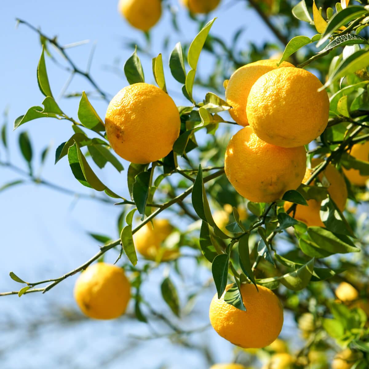 lemon-flavored-vodka